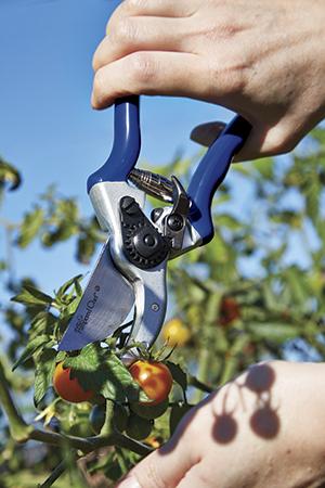 Pruning Shears Harvesting Tomatoes